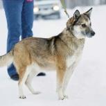 Ищем хозяина красивой ласковой собаке-компаньону Саре!, Новосибирск