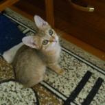 Котята, рыжие полосатики 3 месяца, Новосибирск