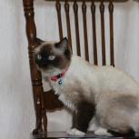 Нашли кошку, ищем хозяина, Новосибирск