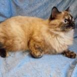 Верба. Взрослая, красивая кошка, Новосибирск