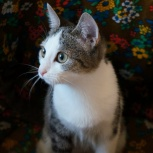 Красавица-кошка Боня, Новосибирск