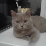 Котик лилового окраса ищет дом, Новосибирск