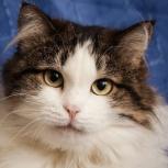 Милана - королева диванов и уюта, отдам кошку, Новосибирск