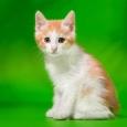 Котёнок курильского бобтейла, Новосибирск