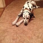 Найдена собака породы долматинец, Новосибирск