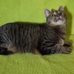 Полосатая кошка красавица, Новосибирск