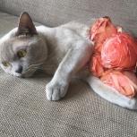 Бурманский кот, Новосибирск