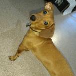Ищу хозяина собаки!, Новосибирск