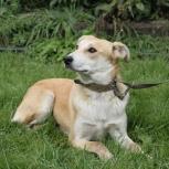 Крупная и красивая собака Акита, Новосибирск