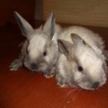 Кролики Саландр (мясо-шкурковая порода), Новосибирск
