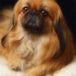Собака Пекинес потерялась в районе озерной, новосибирской, киевской, Новосибирск
