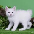 Продам котят курильского бобтейла, Новосибирск