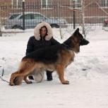 Кобель немецкой овчарки. Вязка, Новосибирск