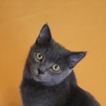 Котишка Тишка серые штанишки в добрые руки, Новосибирск