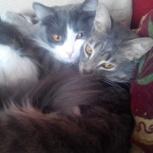 Потерялись два котика в районе п.Новолуговое, Новосибирск
