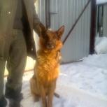 Собака немецкая овчарка в добрые руки, Новосибирск