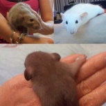 Крысята редких окрасов селекция, Новосибирск