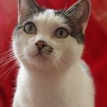 Френки - добродушный и ласковый кот в поиске дома, Новосибирск