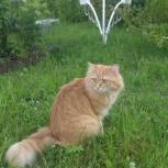 Потерялся кот, домашний любимец, Новосибирск