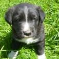 Красивый щенок ищет дом - обещает к зиме стать надежным охранником, Новосибирск