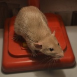 Необычные крысята дамбо бурмизы и сфинксы, Новосибирск