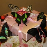 Живые бабочки. Салют из бабочек. Бабочки в рамке, Новосибирск
