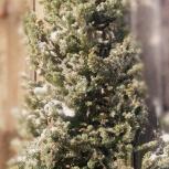 Новогодние пихтовые макушки (опт, мелкий опт, розница), Новосибирск