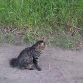 Потерялся кот. Курильский бобтейл., Новосибирск
