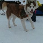 Пропала собака порода Сибирская хаска, Новосибирск