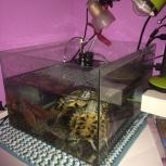 Продам красноухих черепах (в комплекте аквариум с фильтром), Новосибирск
