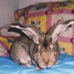 Кролики мясных пород, Новосибирск