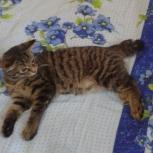 Отдам даром в добрые руки котёнка бобтейла, Новосибирск