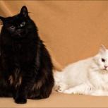 Элитные кошки мать и дочь, Новосибирск