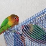 Продам двух попугаев (Неразлучники Фишера), Новосибирск