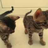 Бенгальские котята мальчики и девочки, Новосибирск
