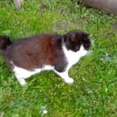отдам в хорошие руки кота японского бобтейла, Новосибирск