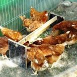 Яйцо куриное (фермерское), диетическое, Новосибирск