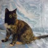 Трехцветная черепаховая кошка 1 год, Новосибирск