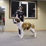 Дрессировка собак. Шоу-тренинг., Новосибирск