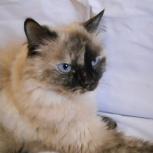 Верба - красивая кошка, стерилизованная, Новосибирск