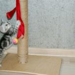 Британские, мраморные котята. Плюшевое счастье в ваш дом), Новосибирск