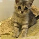 Серая Мышка, котенок 3 месяца, Новосибирск
