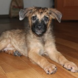 Замечательный и позитивный щенок-Мальчишка Джек! 3 мес., Новосибирск