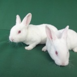 Кролики РЕКС чисто-белый, Новосибирск