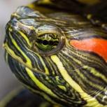 Взрослая самка красноухой черепахи, Новосибирск