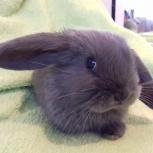 Продам декоративных кроликов., Новосибирск