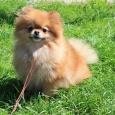 очаровательная девочка померанского шпица (собака), Новосибирск