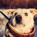 Кудрявый пес-блондин, смесь мужественности и французского шарма!, Новосибирск