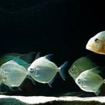 Серебряная Рыбка, Новосибирск