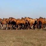 Куплю любой вид  скота лошадей крс ИТД, Новосибирск